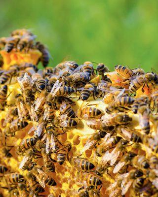 propolisz-propolis-organic-honey-mézpropolisz-mierenaturala-bee-propolis-apitherapy-05