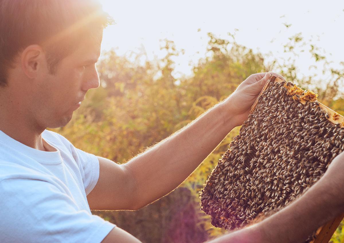 A hazatért méhcsalád