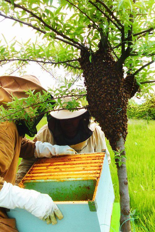 Méhek befogása