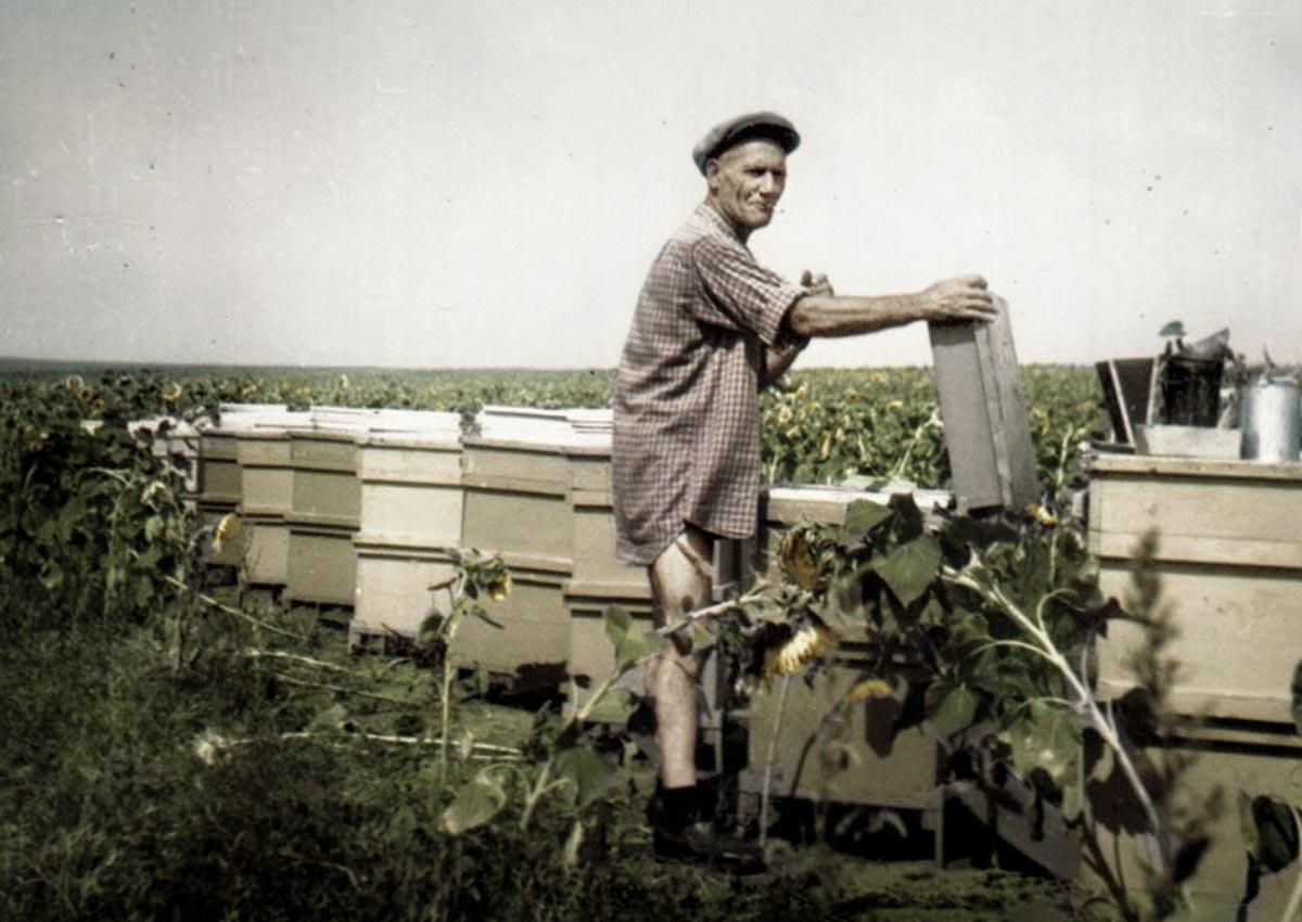 Napraforgó ültetvényen méhészkedik nagyapám - 1972